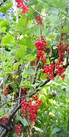 Red Currants, Terrace BC